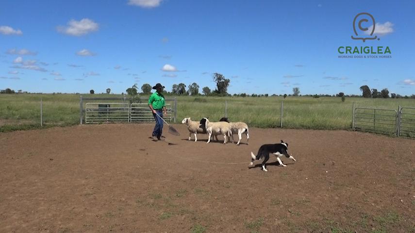 Screenshot working dog training online 2